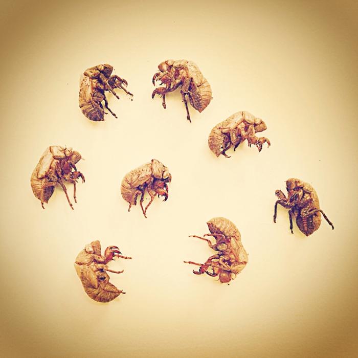 Andrews_studio_cicada_shells